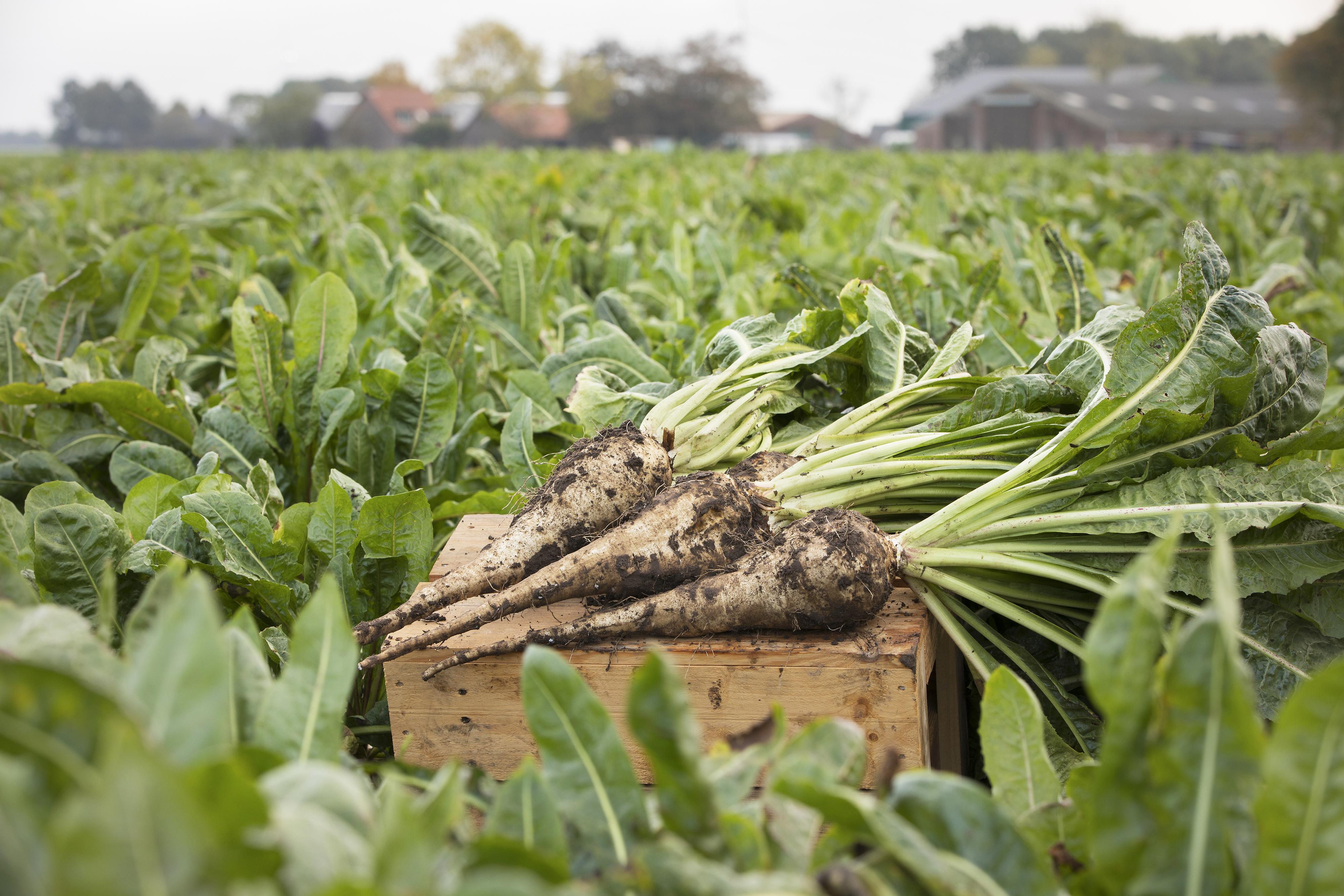 ดีเคเอสเอช และ Sensus ได้รับอนุมัติการกล่าวอ้างทางสุขภาพในประเทศไทยสำหรับผลิตภัณฑ์ใยอาหารจากรากต้นชิโครี่ ของ Sensus